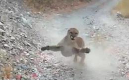 Bị sư tử núi đi theo dọa giết, thanh niên rút điện thoại tay quay mồm chửi xem đứa nào lì hơn