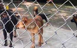 Đàn chó canh nhà bị lừa, trộm đột nhập biệt thự lấy 700 triệu