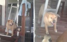 Chú chó béo ú buộc phải ăn kiêng sau khi húc bay cửa nhà bằng khối mỡ của mình