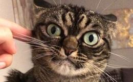 """Chú mèo có khuôn mặt cáu kỉnh, lúc nào cũng như đang """"hờn dỗi"""" cả thế giới nhưng vẫn khiến nhiều người muốn bế về nuôi"""