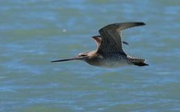 Bay liên tục gần 13.000 km không cần nghỉ, loài chim 'máy bay phản lực' lập kỷ lục vô tiền khoáng hậu