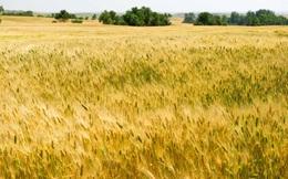 Đằng sau hiện tượng giá lúa mỳ trên thị trường thế giới tăng cao nhất trong 6 năm