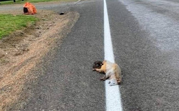 Xác chồn chết nằm ngay trên vạch kẻ đường nhưng vẫn bị sơn lên, dân mạng bức xúc không hiểu đội thi công nghĩ gì