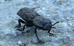 Con bọ này có lớp vỏ bền hơn vật liệu làm máy bay, gần như 'không thể phá hủy'