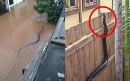 Kinh hãi cảnh con trăn lớn bơi giữa đường nước ngập, leo qua bờ rào nhòm vào trong nhà