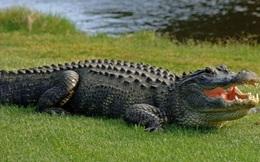 Cá sấu bò lên nằm trên sân nhà dân ở Cà Mau