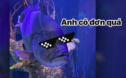 Chú cá mú bị trầm cảm vì cô đơn sau khi ăn thịt hết anh em cùng bể