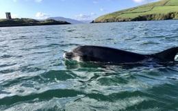 Sự biến mất bí ẩn của cá heo nổi tiếng ở Ireland
