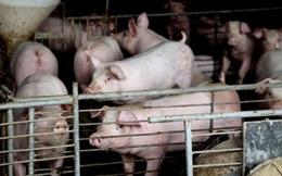 """Nghi án đầu độc đồng nghiệp bằng """"hormone lợn"""" ở Trung Quốc"""