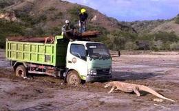 """Indonesia dậy sóng vì rồng Komodo """"chặn đầu"""" xe tải"""