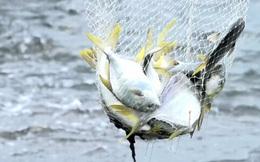 Bất ngờ với cá chim vây vàng
