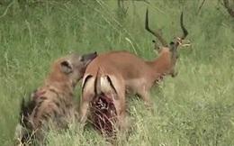 """Video: Bị bầy linh cẩu """"ăn tươi nuốt sống"""", linh dương cố gắng vùng vẫy nhưng vẫn chết thảm"""