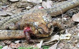Giải mã loài rắn có tập tính ghê sợ: Chỉ thích chui đầu vào cơ thể con mồi để ăn nội tạng