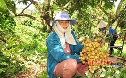 Ngọt ngào mùa nhãn Thanh Lương