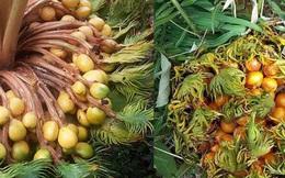 Sự thật về loài cây 10 năm mới ra quả 1 lần: Người bảo độc, người lại khen ăn bùi như hạt dẻ?
