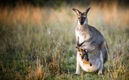 Câu hỏi dễ mà khó mà trả lời: Tại sao Kangaroo mẹ lại nuôi con trong túi?