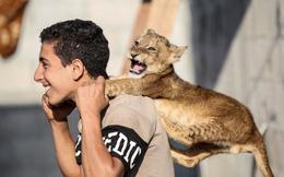 24h qua ảnh: Chàng trai Palestine chơi với sư tử con