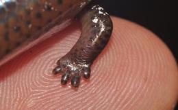 Đỉnh cao tiến hóa: Chỉ cần tái kích hoạt gen, rắn mối Philippines sẽ có lại đôi chân 'bụ bẫm' mà tổ tiên chúng đã bỏ đi