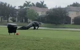 """Con cá sấu khổng lồ đi dạo trong sân golf, dân mạng hốt hoảng """"Quái vật Godzilla"""" là có thật"""