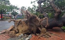 'Cụ' xà cừ số 13 cổ nhất tại Huế bị bão cùng tên quật đổ bật cả gốc gây tiếc nuối