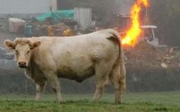 """90 chú bò thi nhau """"xì hơi"""" tới nỗi nổ luôn trang trại, khiến một người anh em bò phải nhập viện"""
