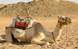 1001 thắc mắc: Vì sao lạc đà có thể sống và đi lại trên sa mạc nóng bỏng?