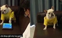 """Clip: Chú chó nổi giận vì bị """"sen"""" phá bĩnh khi đang chơi game"""