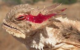 Video: Loài động vật ngụy trang tài tình, phun máu từ mắt để phòng vệ