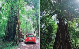 Cây kơ-nia lớn nhất Việt Nam gây ấn tượng đặc biệt trong khu bảo tồn thiên nhiên Đồng Nai