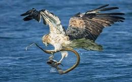 Màn săn rắn biển đỉnh cao của đại bàng