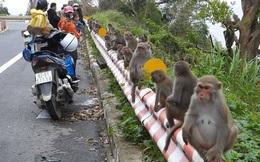 Khỉ Sơn Trà kéo nhau ào xuống đường giành giật thức ăn