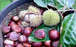 Hạt dẻ - vua của loài quả khô phòng nhiều bệnh