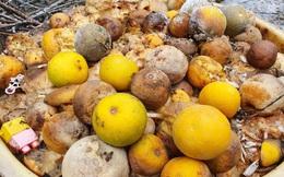 'Đệ nhất cam' xứ Nghệ rụng vàng gốc sau lũ
