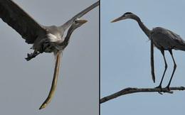 Thiên nhiên dữ dội: Cá chình đâm thủng diều chim diệc để chui ra ngoài sau khi bị nuốt sống