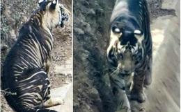 Giải mã bí ẩn 'hổ quỷ' siêu hiếm ở Ấn Độ: Cả thế giới chỉ có 8 con!