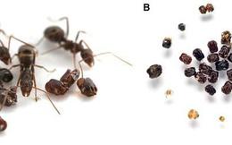 """Kỳ lạ loài kiến thích sưu tập đầu lâu của """"kẻ thù"""" để trang trí tổ"""