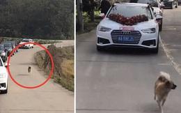 Bịn rịn không muốn cô chủ đi lấy chồng, chú chó chạy theo xe hoa hơn 10km, đến lúc kiệt sức hẳn mới đành dừng lại khiến ai nhìn cũng thương