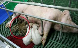 Con mồi nuôi kẻ săn mồi: Thái độ của con hổ khi lớn khiến nhân viên sở thú bất ngờ