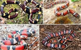 Nhìn 'na ná nhau' nhưng nếu cầm nhầm 1 trong 4 con rắn dưới đây, bạn có thể 'trả giá rất đắt'