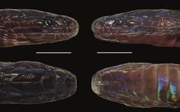 Phát hiện loài rắn kỳ lạ, cực hiếm có thể đổi màu vảy và hoàn toàn mới ở Việt Nam
