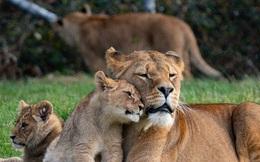Sửng sốt, phát hiện 4 chú sư tử ở vườn bách thú nhiễm COVID-19