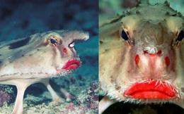 Sống dưới nước nhưng chỉ 'đi bộ' chứ không biết bơi, loài cá nào lại sở hữu đôi môi đỏ chót cùng gương mặt 'quạu đừng hỏi'?