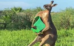 Bức ảnh chụp Kangaroo đơn giản nhưng ai cũng giật mình khi nhìn vào chi tiết nhỏ bên góc trái