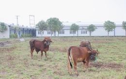Bệnh viện 'trăm tỷ' thành nơi chăn bò