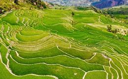 Phát hiện các đồng lúa cổ nhất, lớn nhất thế giới