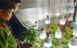 Vườn cần sa trồng trong nhà với công nghệ chiếu sáng hiện đại