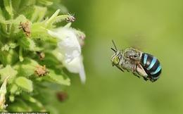 Ong xanh da trời hiếm có trên thế giới xuất hiện ở Australia