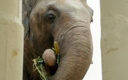 Chú voi cô đơn nhất thế giới đến nhà mới ở Campuchia với phí vận chuyển gần nửa triệu USD