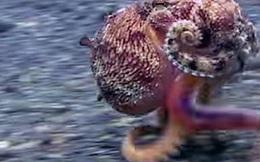 Clip: Chú bạch tuộc ba chân bốn cẳng chạy nước rút dưới đáy biển gây sốt MXH