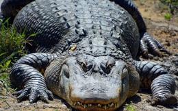 Không ai biết rằng cá sấu có thể mọc lại đuôi giống thằn lằn